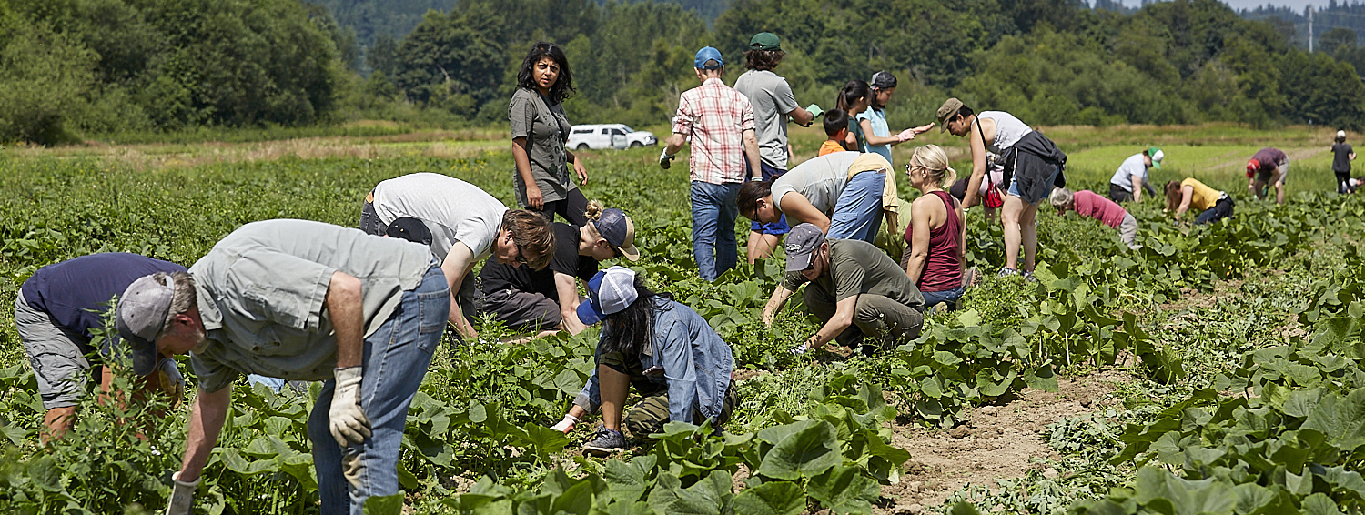 FareStart volunteers gleaning produce